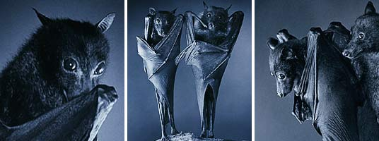 Tim Flach - Bats
